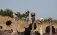 Oudtshorn er strutse-hovedstaden i Sør-Afrika, så her kan du besøke en strutsefarm og prøve å ri på disse artige dyrene.
