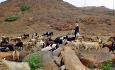 Geitere er et hyppig syn langs veiene i Oman