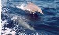 Det har blitt identifisert 21 ulike arter av hval og delfiner langs kysten av Oman