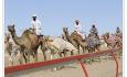 eller vær tilskuer under et kamelveddeløp