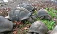 Disse søte kjempeskilpaddene finner du overalt på Seychellene